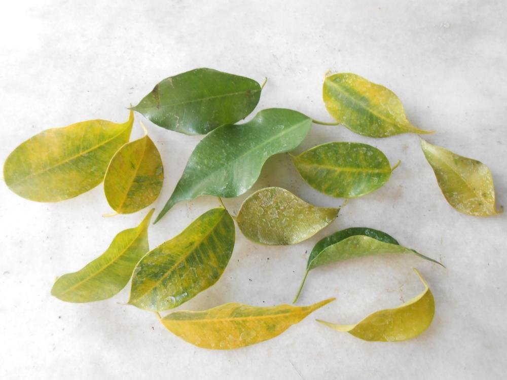 почему фикус сбрасывает листья что делать