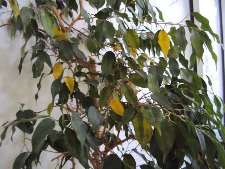Фикус бенджамина сбрасывает листья осенью что делать