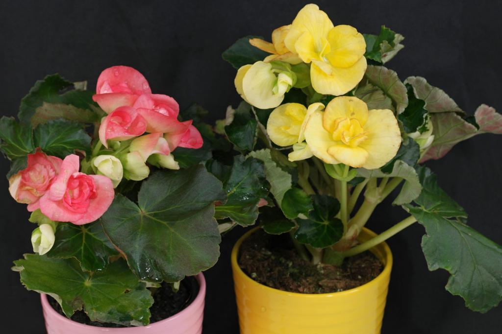 Бегония Элатиор — уход за растением в домашних условиях
