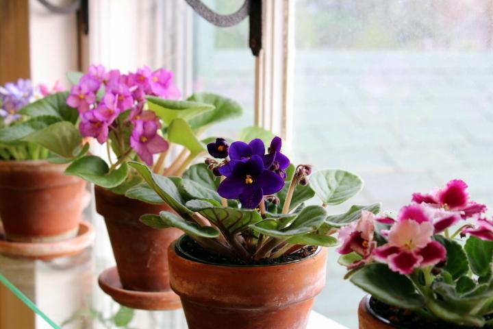 цветы уход в домашних условиях фиалки