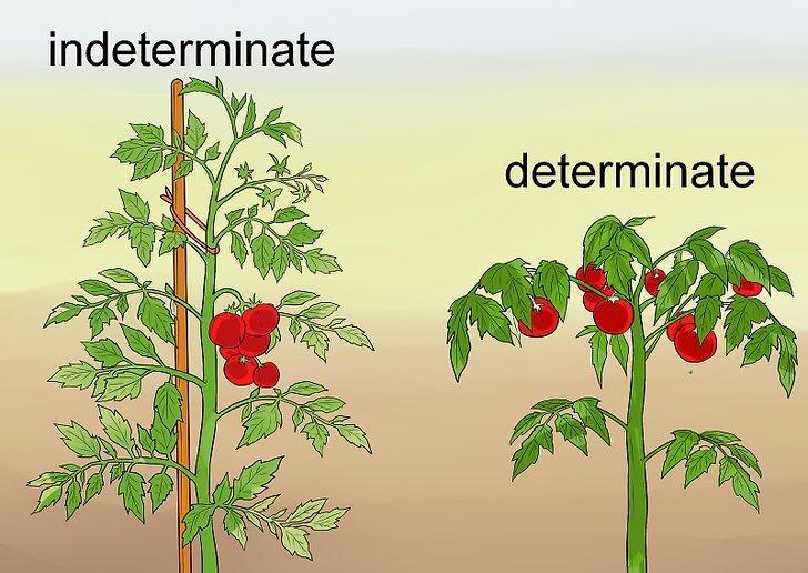 Индетерминантные и детерминантные помидоры