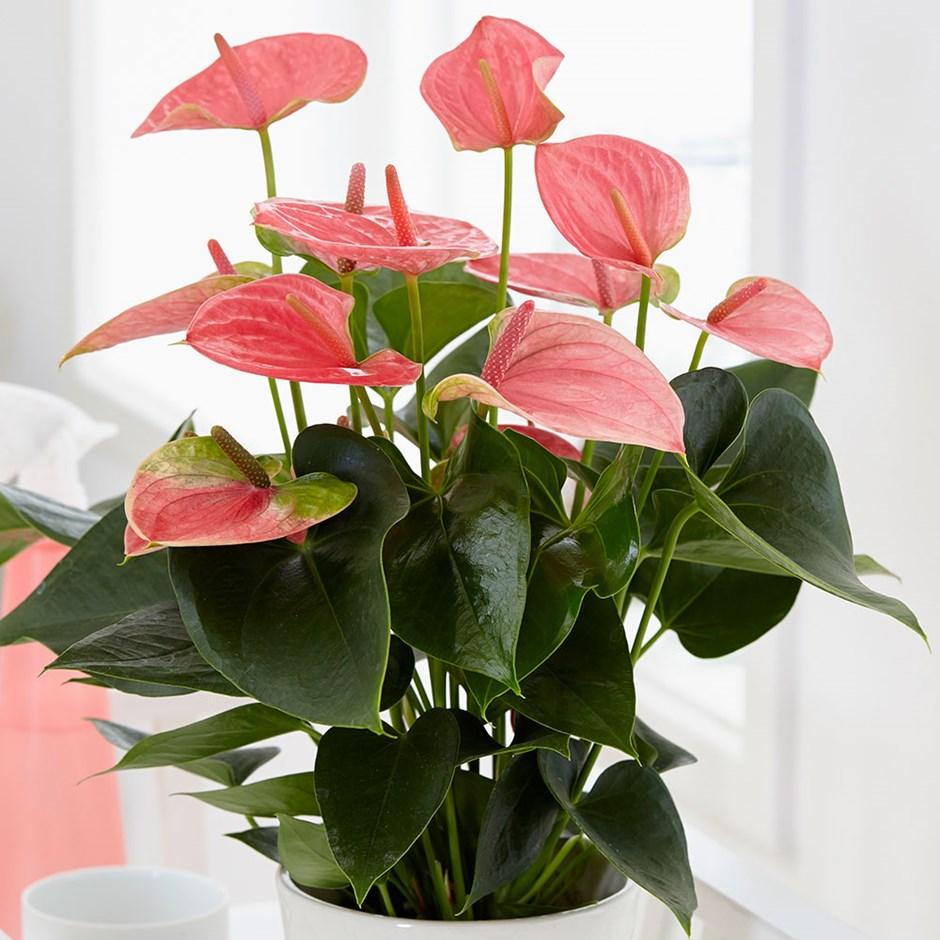 существуют добросовестные цветок антуриум уход в домашних условиях фото работ победителей