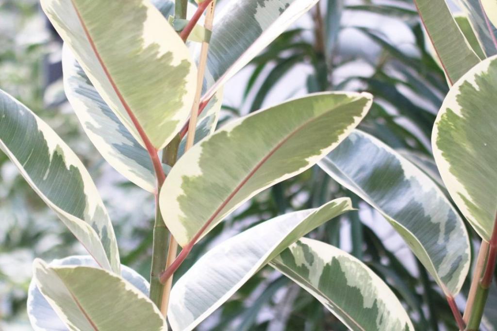 Растения фикус в картинках