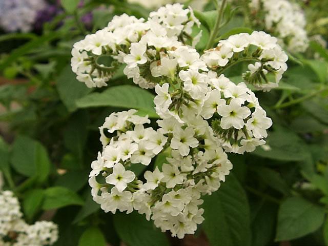 цвет гелиотроп