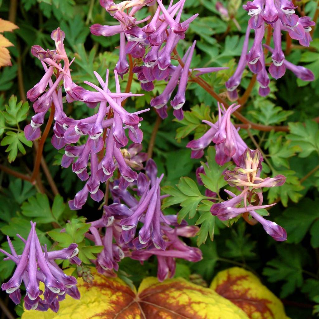 цветок хохлатка фото