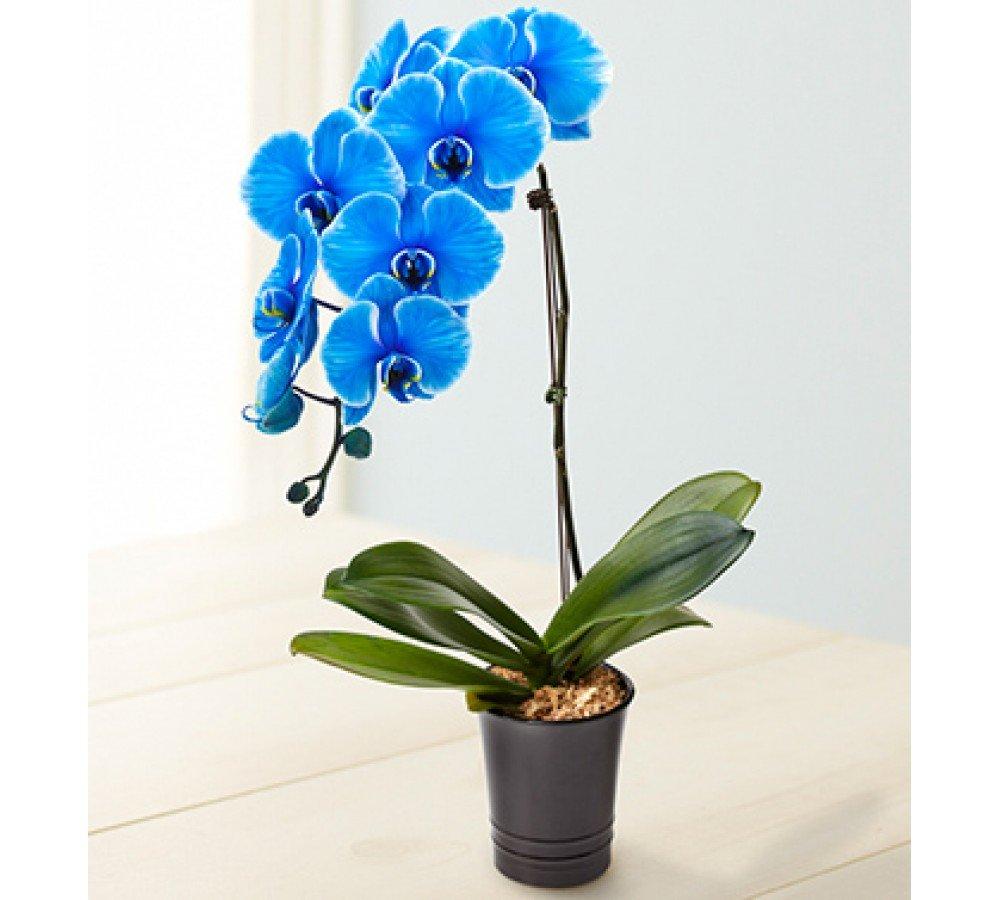 Как сделать чтобы орхидея была синяя