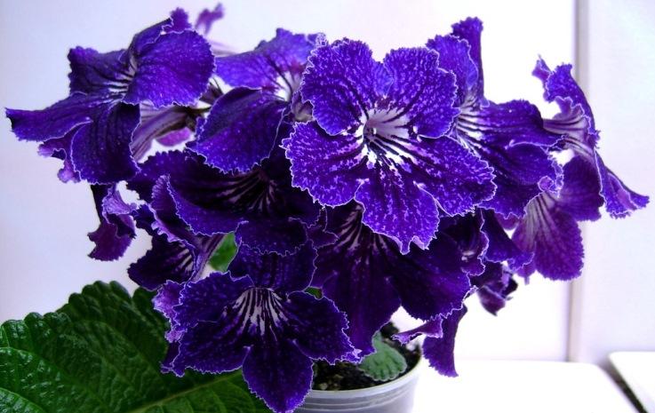 стрептокарпус фото цветы