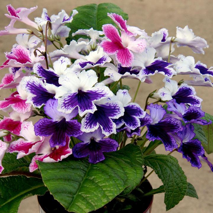 стрептокарпусы цветы