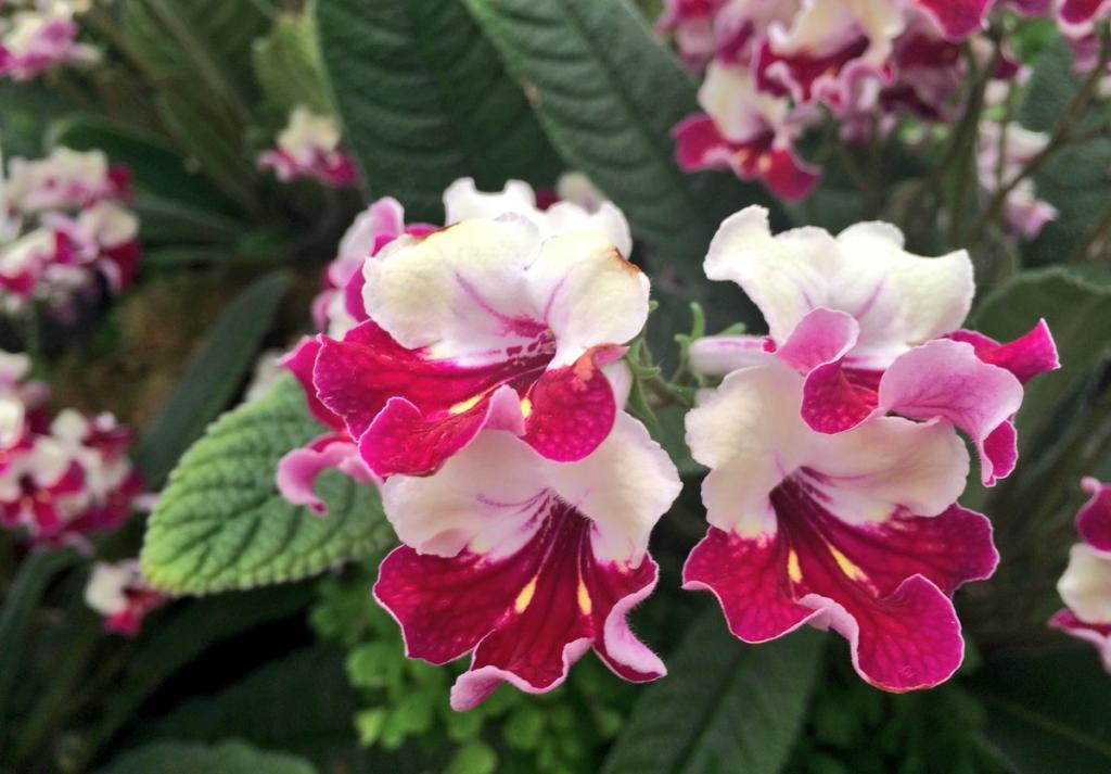 стрептокарпус цветок