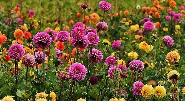 Цветы в саду георгины