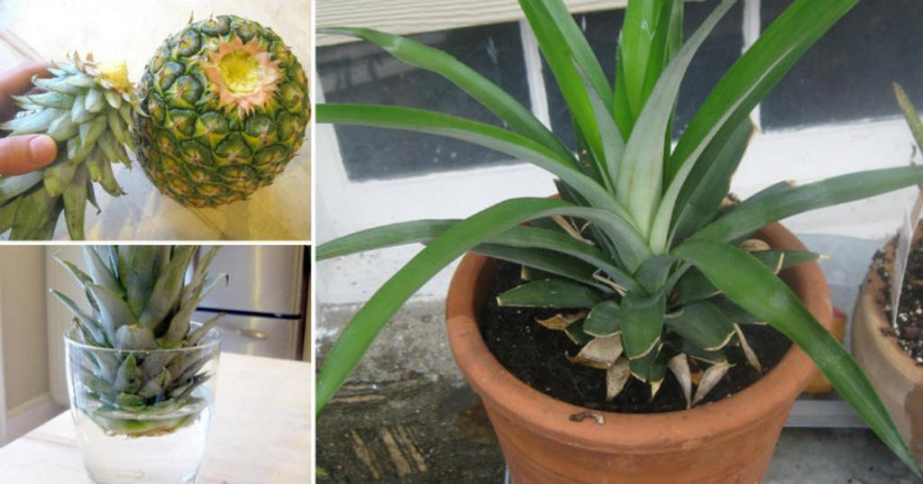 посадить ананас в домашних условиях с фото