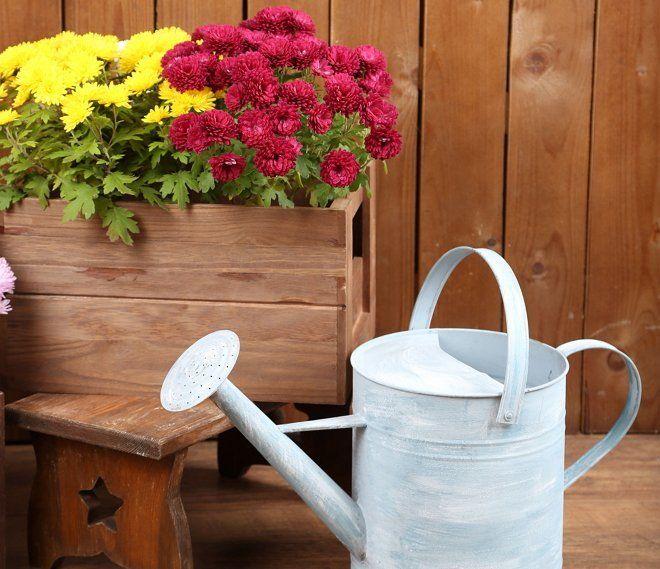 Как поливать хризантемы в саду