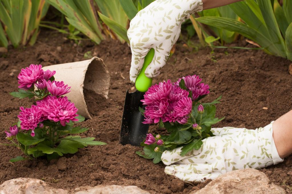 Как посадить хризантему в открытый грунт