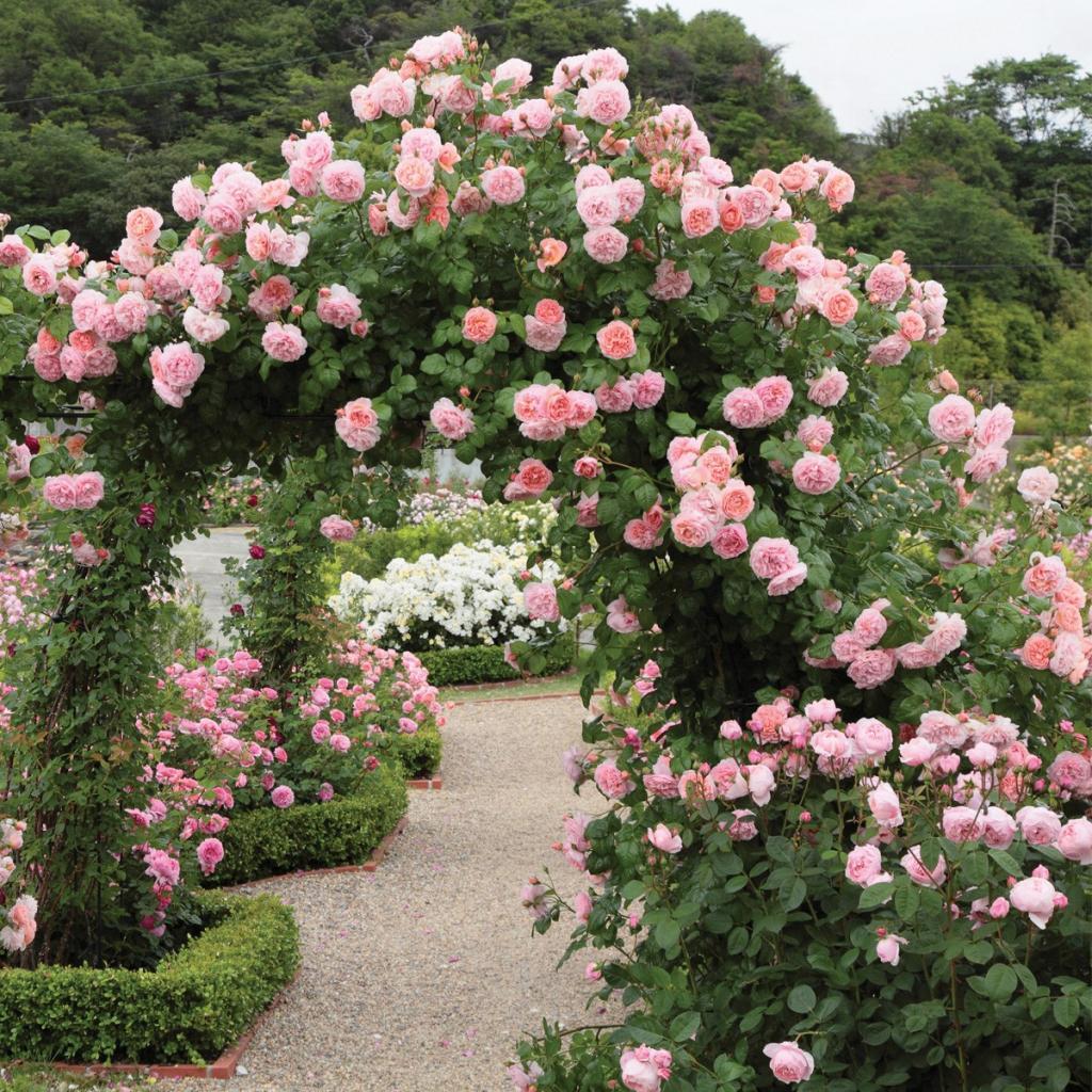 что посадить рядом с плетистой розой