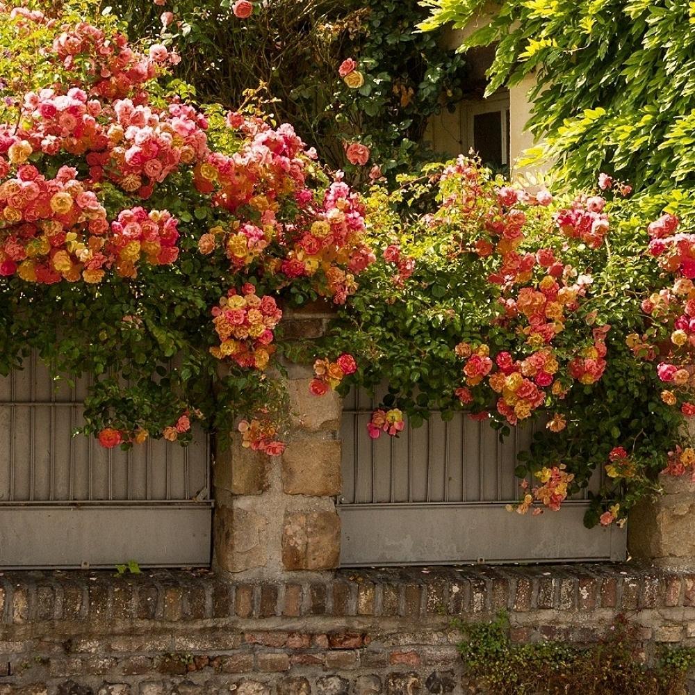 розы плетистые как сажать