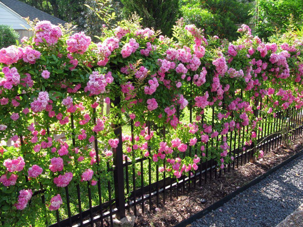 плетистая роза уход в открытом грунте
