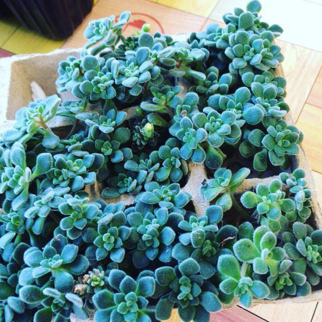 комнатные растения аихризон
