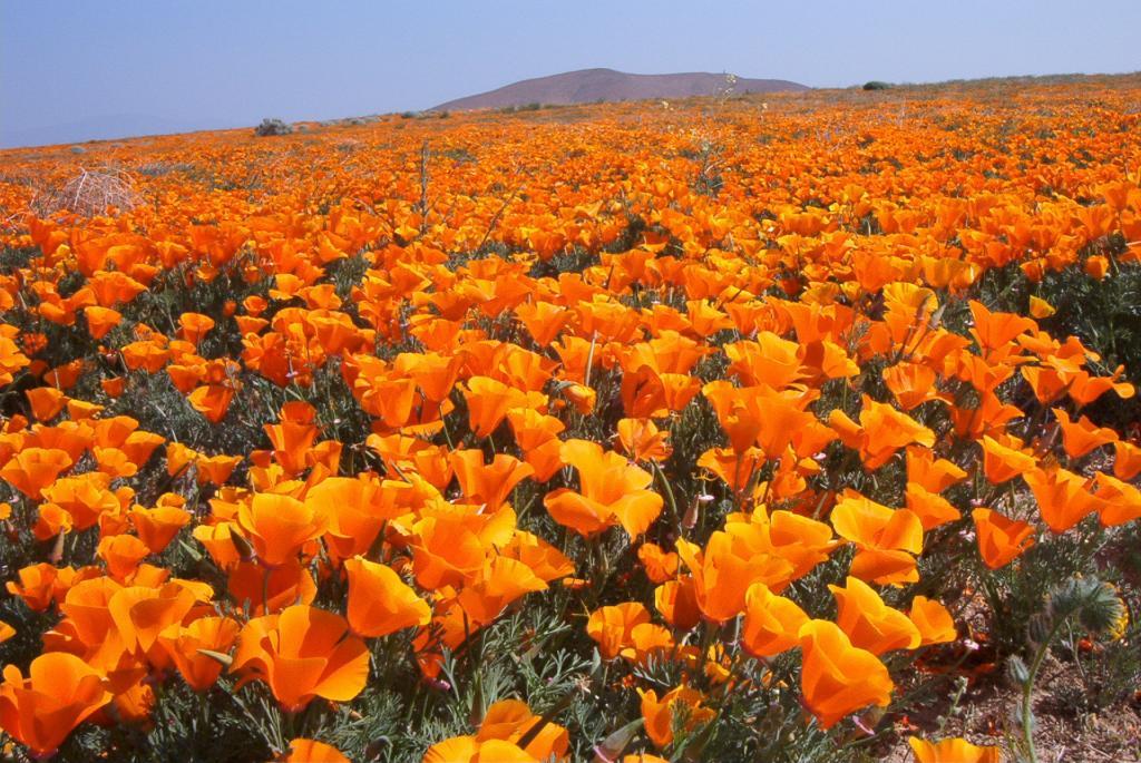 цветы эшшольция посадка и уход