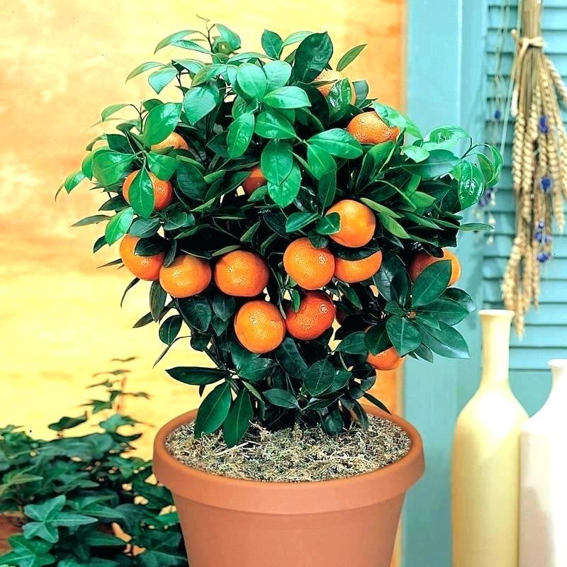 Как посадить мандарин в домашних условиях правильно