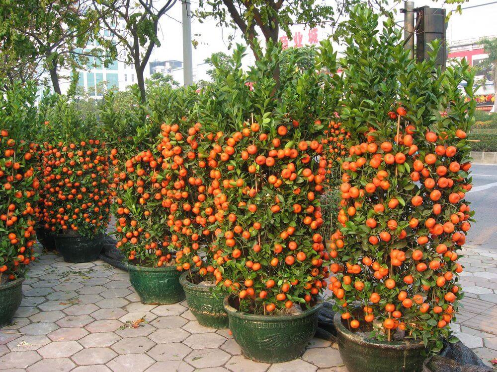 дерево мандариновое в горшке