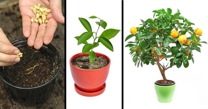 как пересадить мандариновое дерево в другой горшок