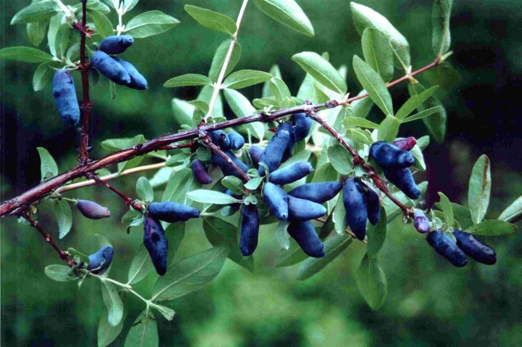 Хвойное дерево с синими ягодами название. Лучшие хвойные растения для сада – описание с фото и правила их комбинирования. Правила удобрения для хвойных растений