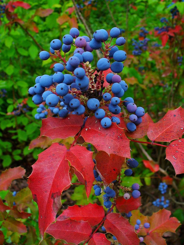 мелкие синие ягоды