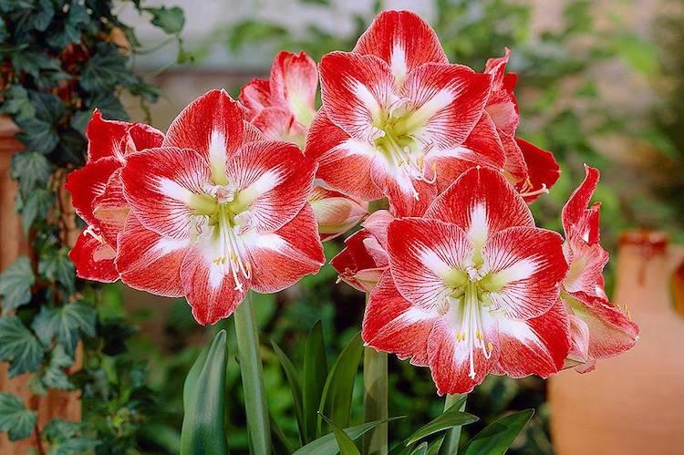 Амариллис: уход в домашних условиях, особенности выращивания, размножение