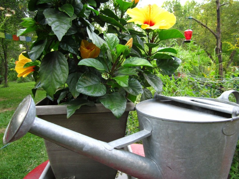 Гибискус цветок садовый уход посадка и уход в открытом грунте
