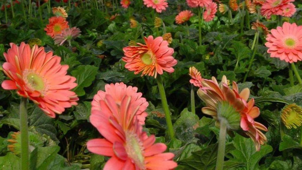 гербера многолетняя садовая