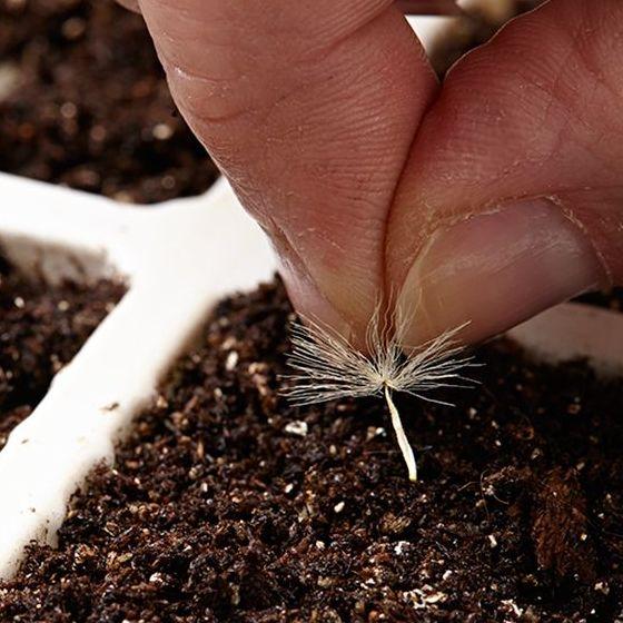 герберы в саду выращивание и уход