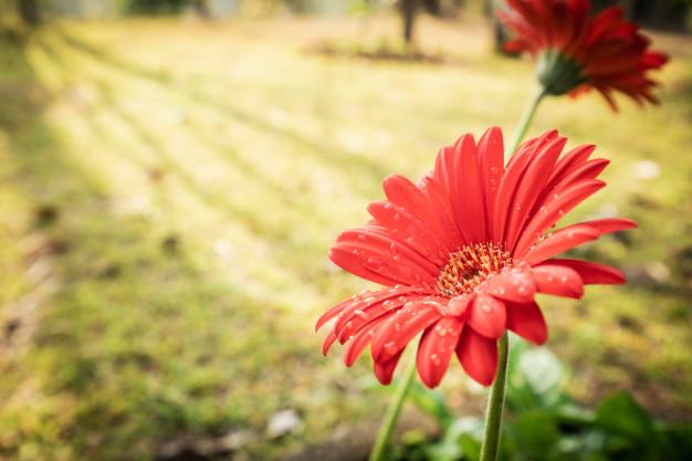 гербера садовая