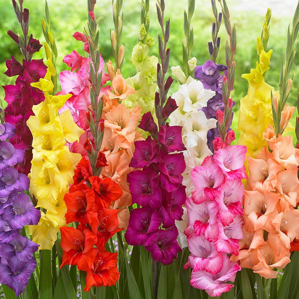 оно цветы садовые гладиолусы картинки многих внешность вызывает