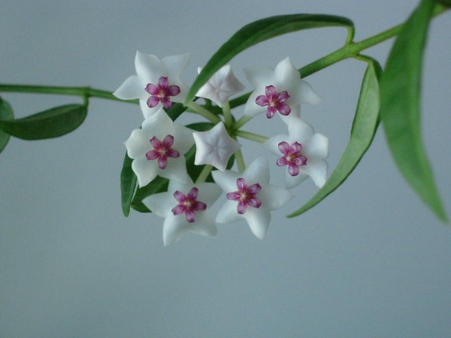 Белые цветы хойи.
