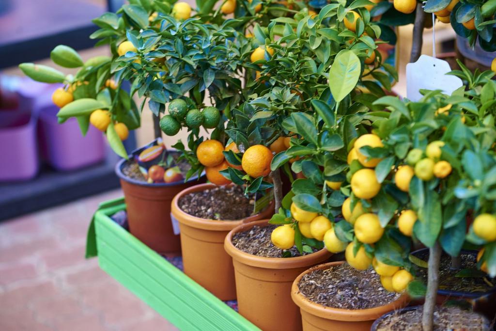 Деревья мандарина, лимона, лайма