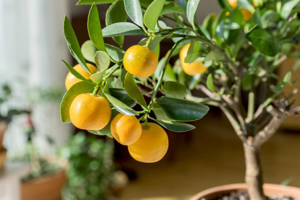 Желтые мандарины на солнце