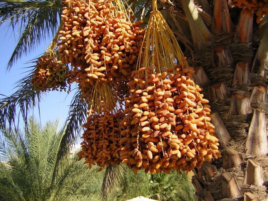 Как растут финики в природе? Финиковая пальма: описание