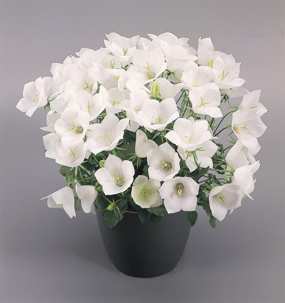 пожалуйста, новичку комнатный цветок с белыми цветами фото еще один