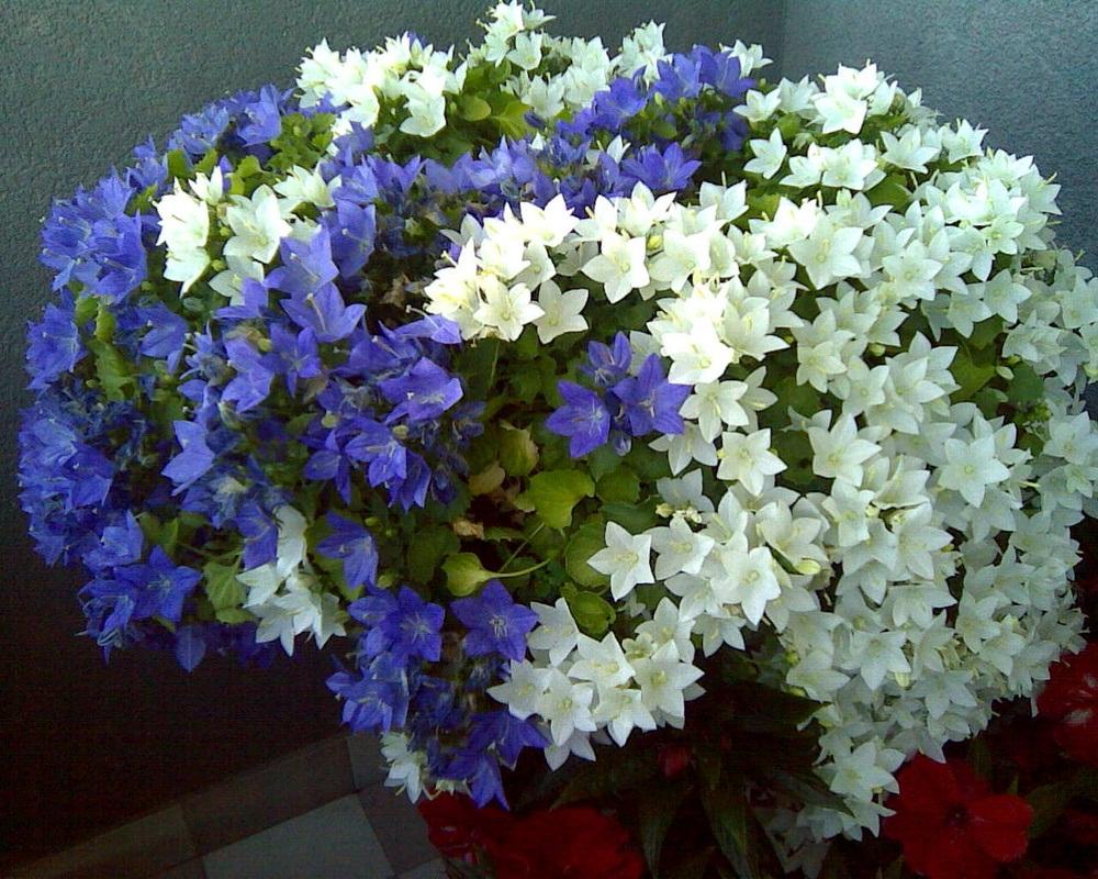 цветок невеста комнатный как ухаживать после покупки