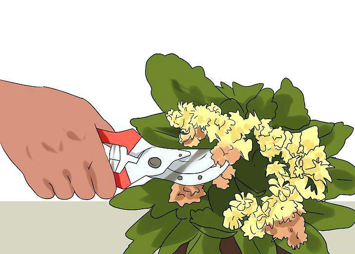 Как обрезать каланхоэ Каландива
