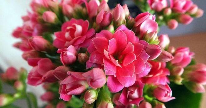 Как вернуть цветение каланхоэ Каландива