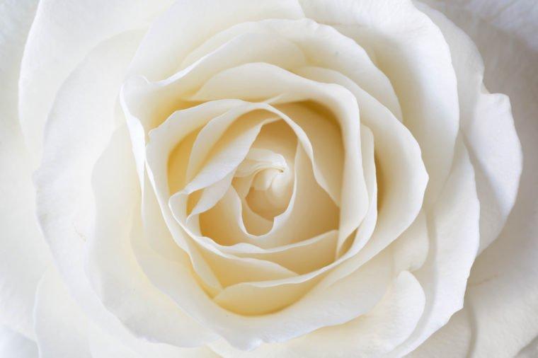 белая роза значение цветка