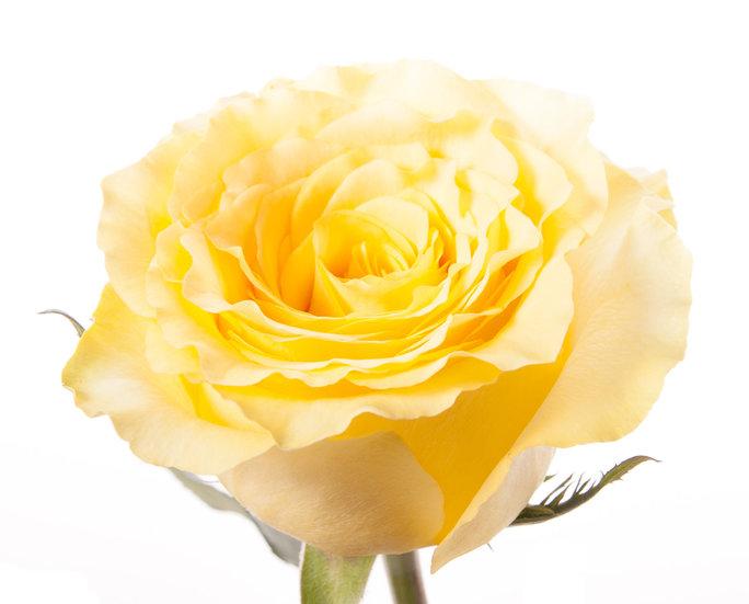 желтая роза что означает