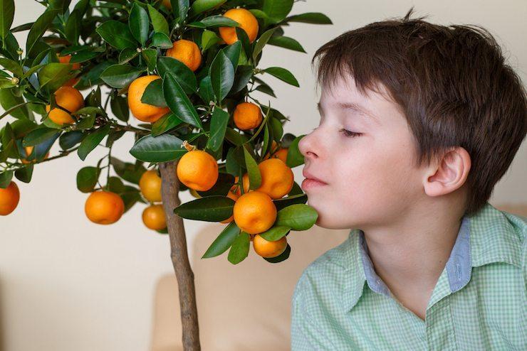 Комнатный мандарин виды и сорта