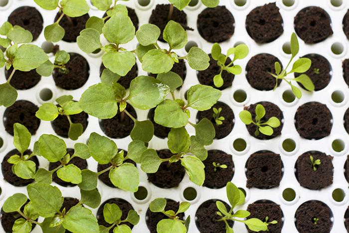 бальзамин комнатный вырастить из семян
