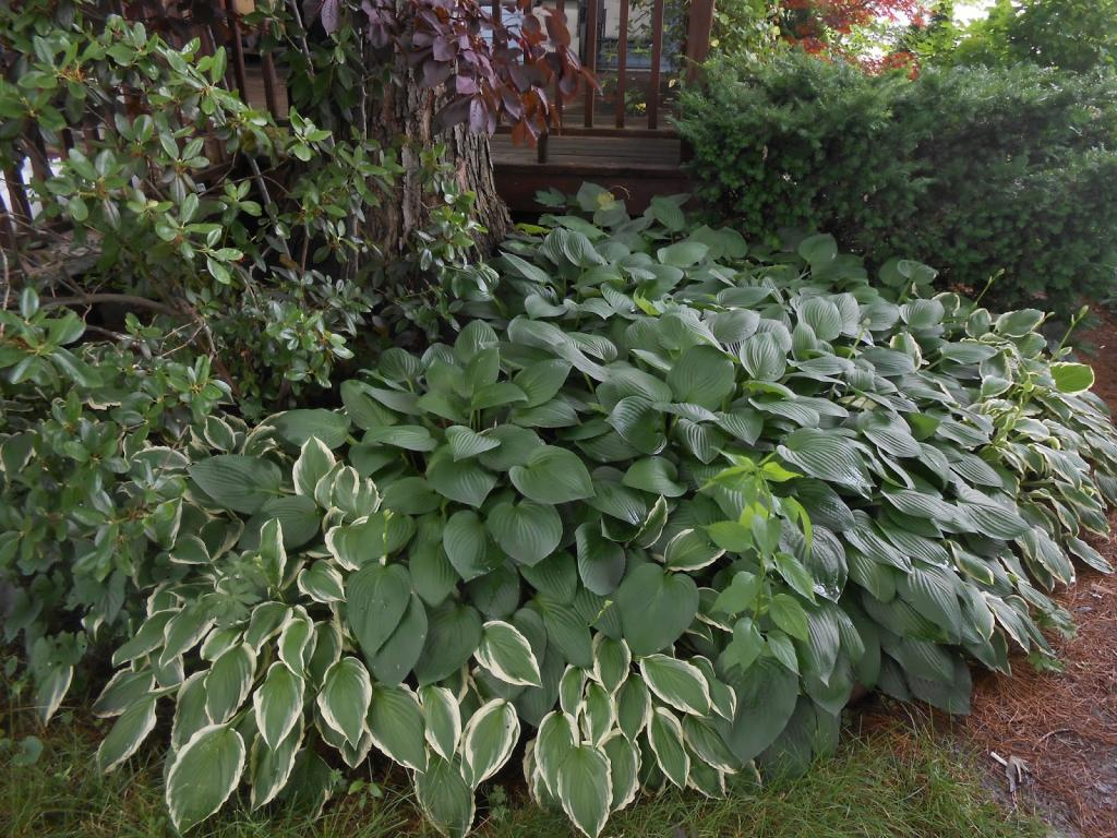 Хоста садовая посадка и уход в открытом грунте