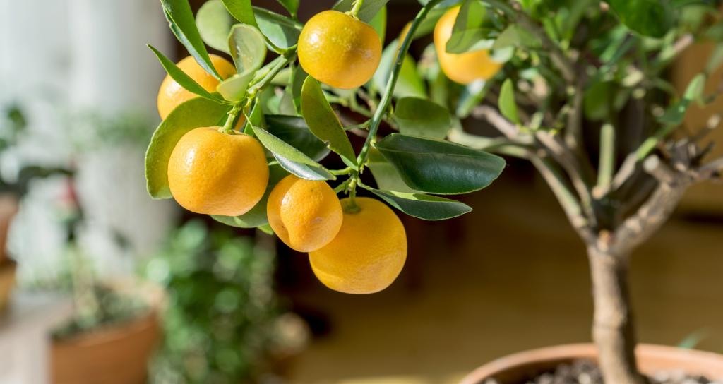Желтые мандарины на дереве.