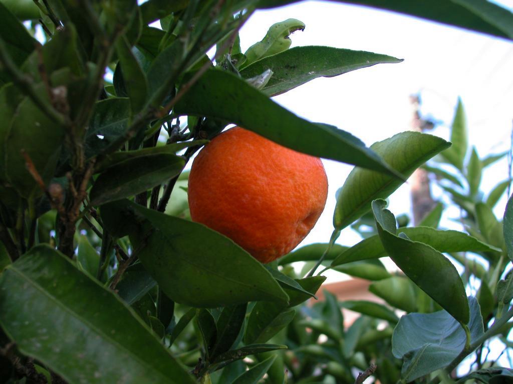 Красивый и спелый мандарин.