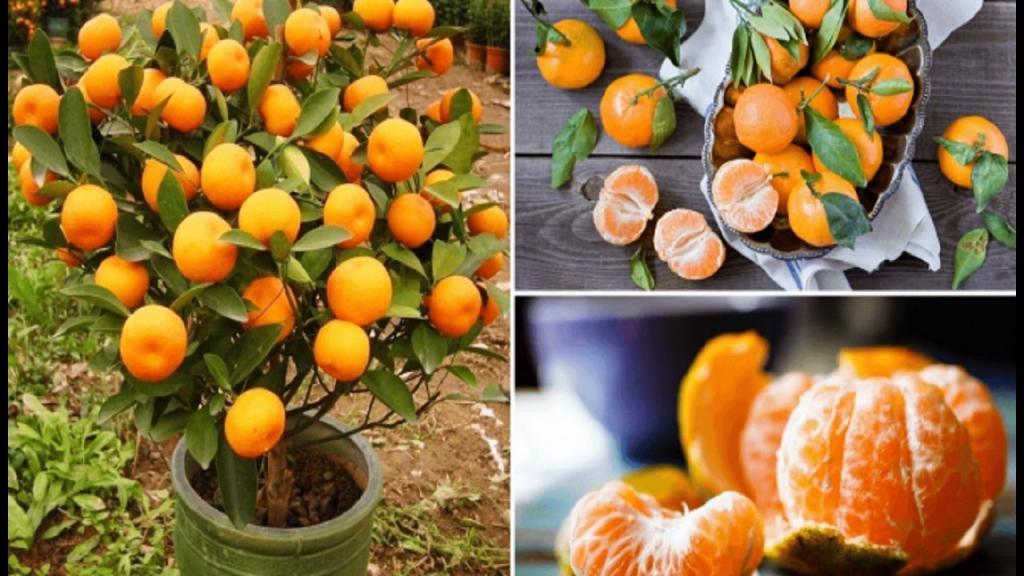 Как правильно выращивать мандарины
