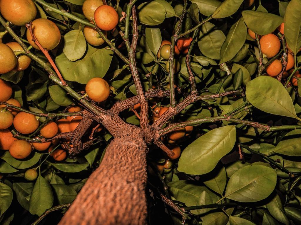 Старое мандариновое дерево.
